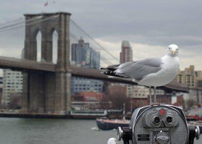 New Jersey: Eine Möve vor der Brooklyn Bridge in New York.
