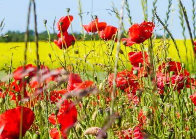 Klatschmohn in einem Feld nahe Praesto.