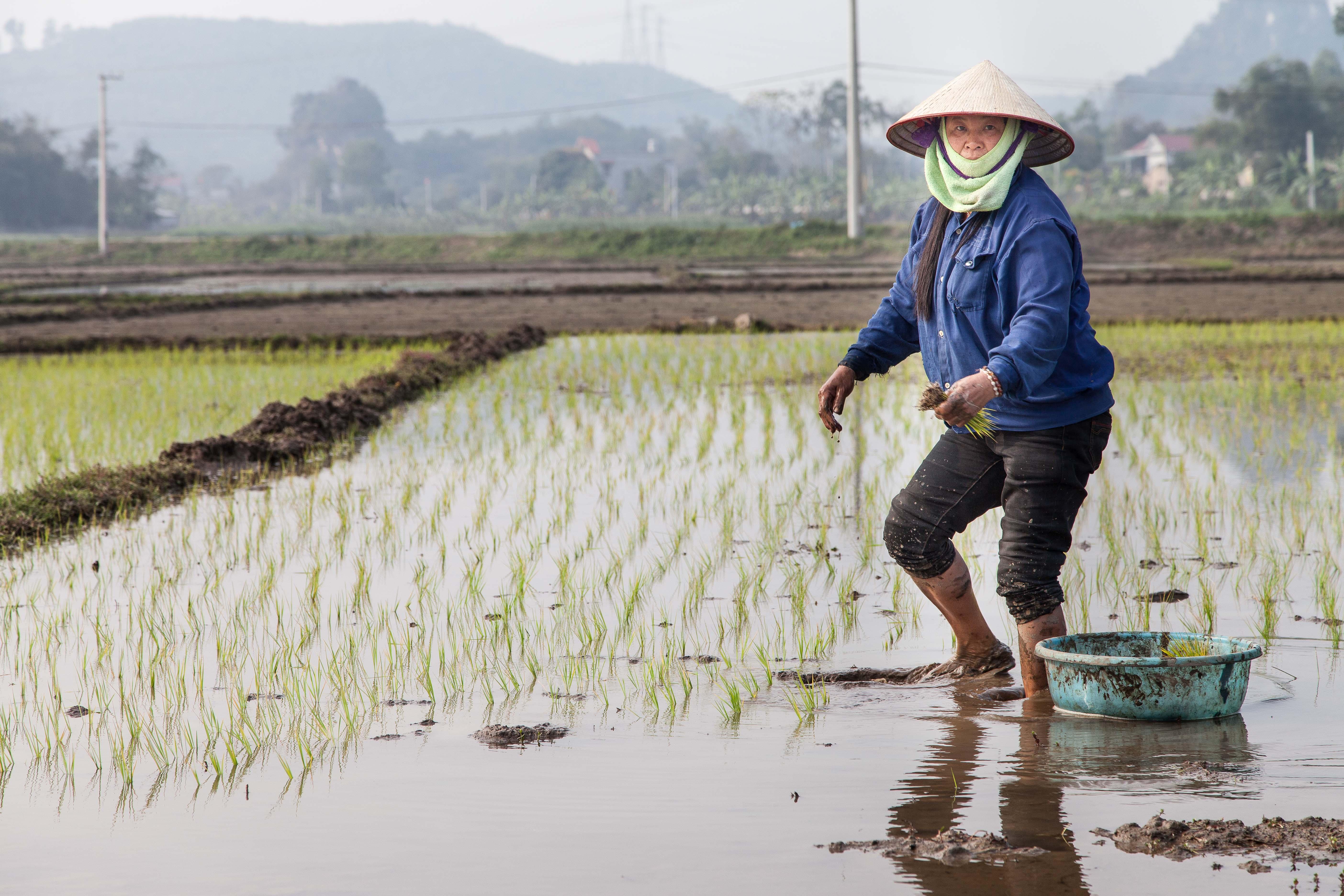 Eine schwere Arbeit in Wasser und Schlamm: Eine Reisbäuerin im Norden Vietnams.
