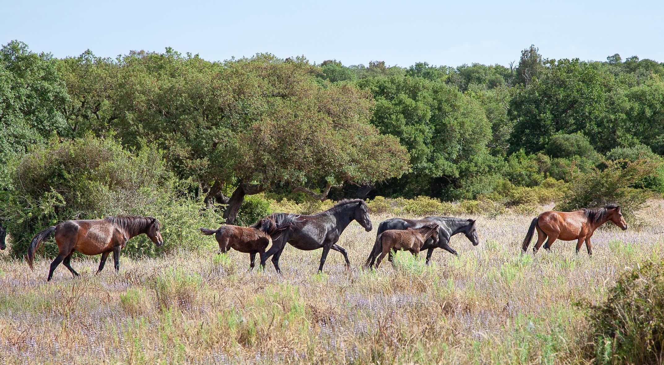 Über Jahrhunderte sind die Steinblöcke für die Nuraghe von der Giara-Hochebene geholt worden. Dort leben bis heute die einzigen wilden Pferde Europas.